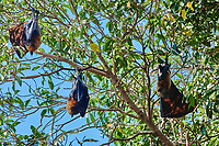 group of fruit bats in trees in Palawan Philippines