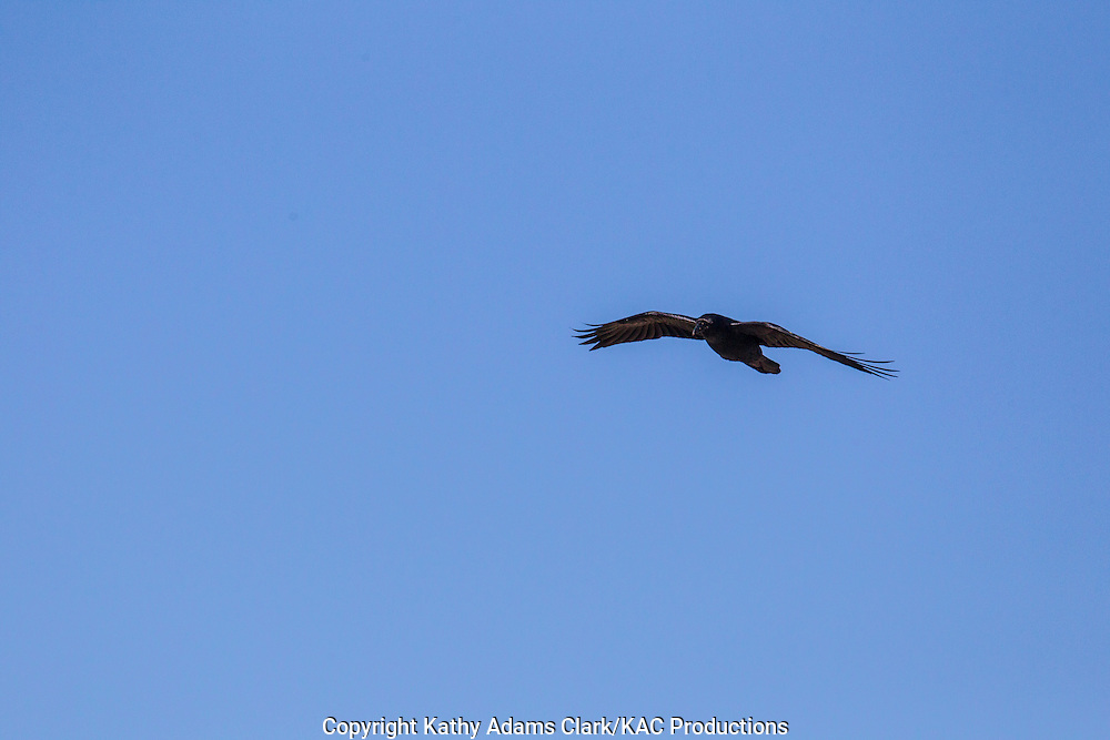 Common raven, Corvus corax , flying, Big Bend National Park, Chihuahuan Desert, west Texas