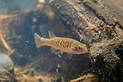 Olympic mudminnow (Novumbra hubbsi), Washington state's only endemic fish. Photographed near the Chehalis River in Washington.