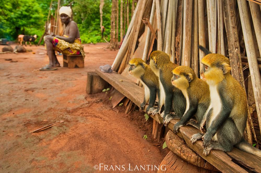 Mona monkeys, Cercopithecus mona, in Boabeng-Fiema village, Ghana