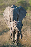 Young elephant and mother, Linyanti concession, Botswana / Elefante africano joven con su madre, concesión Linyanti, Botswana