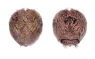 Purple Heart Urchin - Spatangus purpureus