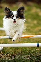 JEROME A. POLLOS/Press..Katie, and her fellow papillon housemate Carlee, train for agility competitions up to four times a day in five-minute intervals.