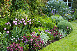Curving border and lawn at Eastgrove Cottage in spring. Tulipa 'Bleu Aimable' with Erysimum 'Bloomsy Baby Purple' (wallflower) and Viola cornuta in the foreground