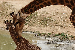 March 24, 2016 - Jerusalem, Israel - The Jerusalem Biblical Zoo welcomes two newborn South African giraffe calves (Giraffa camelopardalis giraffa) into the African animals enclosure open for public viewing. Adis, male, two weeks old, was born to mother Akea, and Rotem, female, one month old, was born to mother Yasmin. The calves are second generation Jerusalem born to grandparents purchased in an auction from South Africa. Rio, male, fathered both calves. (Credit Image: © Nir Alon via ZUMA Wire)