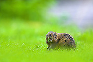 Water vole, Arvicola terrestris, feeding on grass shoots, Peak District, UK