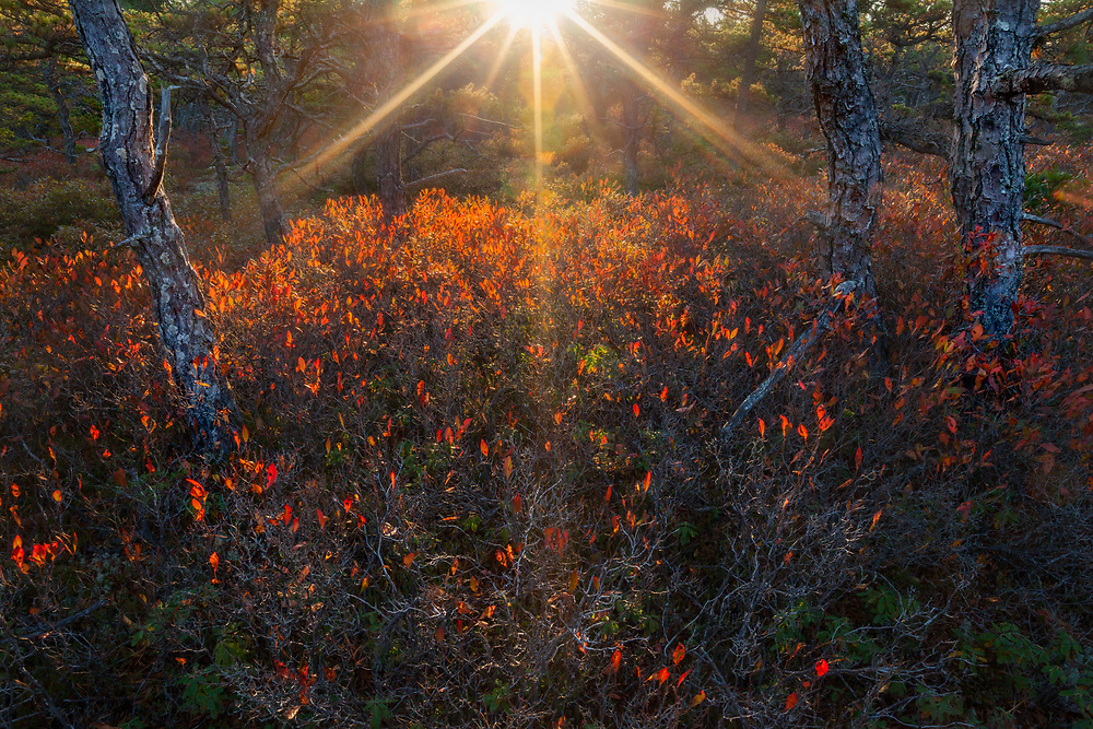 #8  Backlight illuminates the colorful red blueberry that grows along the coast in an area known as Wonderland, Acadia National Park, Maine