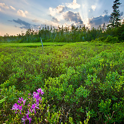Rhodora blooms in a bog near Long Pond in New Hampshire's White Mountains.