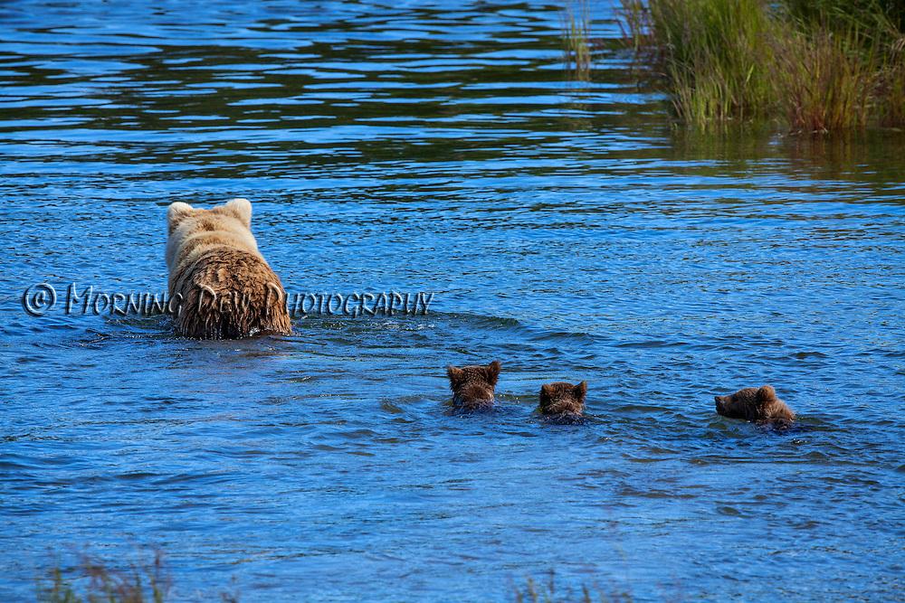 Three spring cubs follow their mother through the water in Brooks River, Katamai National Park, Alaska