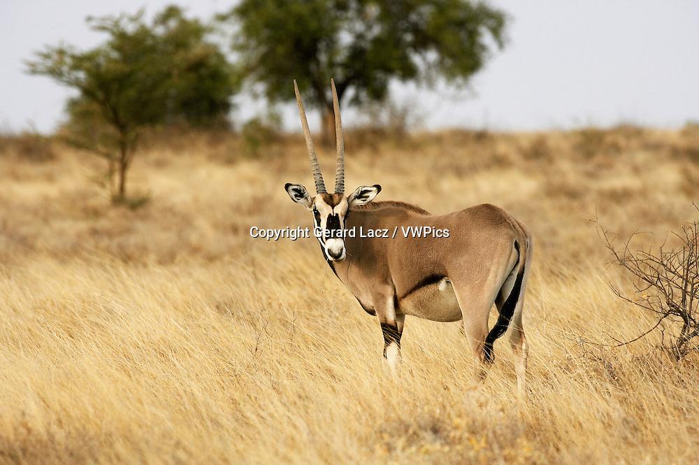 Beisa Oryx, oryx beisa, Adult in Savannah, Masai Mara Park in Kenya