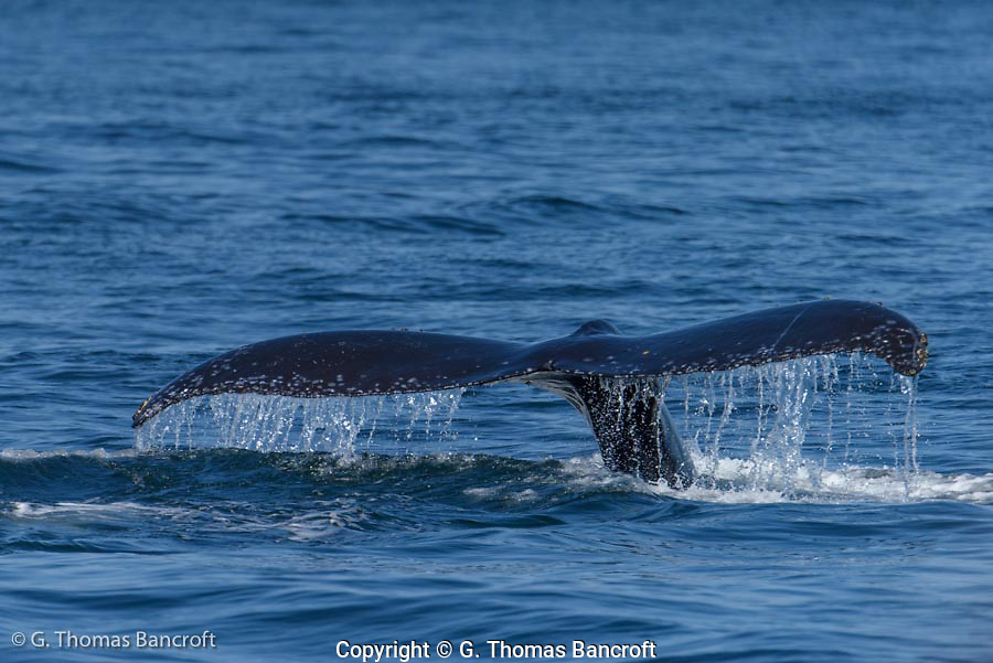 Humpback Whale dives in the Juan de Fuca straits and it raises its fluke as it heads to the depths.