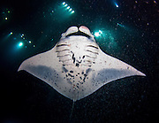 Manta Ray during a night dive in Hawaii.