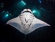 Manta Ray during a night dive in Hawaii.