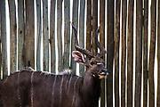 Nyal bull game capture, Phinda Private Game Reserve, Zululand, KwaZulu Natal, South Africa