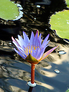 Blue Lotus in an energetic nature setting.<br />