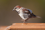 A house sparrow jumps from a fence post to fly to a nearby feeder