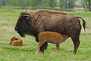 Mother bison feeding her newborn calf.  Published in American Prairie Foundation Brochure