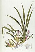 Hand painted botanical study of Sansevieria sarmentosa flower anatomy from Fragmenta Botanica by Nikolaus Joseph Freiherr von Jacquin or Baron Nikolaus von Jacquin (printed in Vienna in 1809)