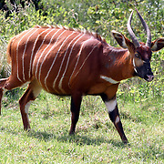 January 30, 2004 - A rare mountain bongo walks around the Mount Kenya Game Ranch in central Kenya. The small population of protected bongo currently living in Kenya were joined by 18 other bongos who have been returned to the Mount Kenya area in a major step to save the species from extinction. Photo by Evelyn Hockstein