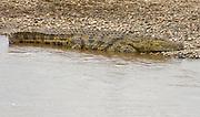 Nile Crocodile (Crocodylus niloticus) at the bank of Mara River, Kenya.