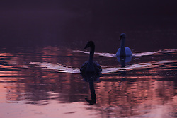 © Licensed to London News Pictures. 14/12/2016. Leeds, UK. A young swan is tailed by it's parent as the sun rises at Golden Acre Park on a cold winter morning in Leeds, West Yorkshire. Photo credit : Ian Hinchliffe/LNP