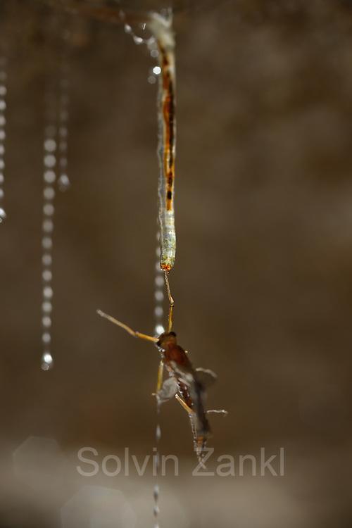 Mayfly caught in the sticky silk threads from the larvae of the fungus gnats (Arachnocampa luminosa). The larvae will pull up the silk to eat the mayfly. Glowworm cave near Waitomo Cave, New Zealand. Close to Te Kuiti. | Sobald die Larve der Pilzm&uuml;cke Arachnocampa luminosa ihren Seidenfaden mit der gefangenen Fliege weit genug heraufgezogen hat, packt sie die Beute mit ihren harten Mundwerkzeugen. Meist fangen die sogenannten &quot;Glowworms&quot; fliegende Insekten, zuweilen auch erwachsene Artgenossen, die angelockt durch das Leuchten im Hinterleib der Larven an einem der zahlreichen h&auml;ngenden Seidenf&auml;den festkleben. Die r&auml;uberischen Maden fressen aber auch kleine Schnecken, Tausendf&uuml;&szlig;ler, Milben, Ameisen - oder benachbarte M&uuml;ckenlarven, die sich in das fremde Seidennetzt-Territorium wagen und im Kampf um die Grenzen unterliegen. In dem druchscheinenden K&ouml;rper der Pilzm&uuml;ckenlarve zeichnet sich ihre vorherige Mahlzeit als dunkler Bereich im Verdauungstrakt ab.<br /> Arachnocampa luminosa ist eine von etwa 3000 Pilzm&uuml;ckenarten weltweit und lebt an feuchten, dunklen Stellen (H&ouml;hlen und &Uuml;berh&auml;nge) in Neuseeland. Die Waitomo Cave und H&ouml;helsysteme nahe der Ortschaft Te Kuiti sind bekannt f&uuml;r die leuchtenden Larven.