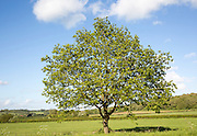 Green leaves single tree standing in green field with blue sky, Wiltshire, England, UK