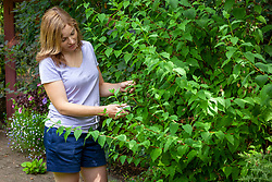 Summer pruning philadelphus after it has finished flowering