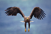 Havørn inn for landing | White-tailed Eagle prepare for landing.