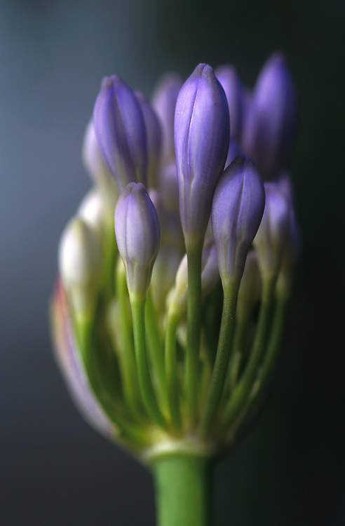 Close up of Agapanthus buds.