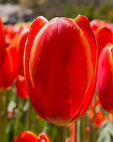 Close up of Toronto Double tulip