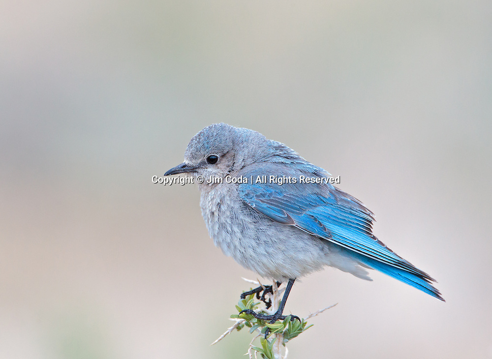 A female mountain bluebird perches on some sage just inside the Roosevelt Arch.