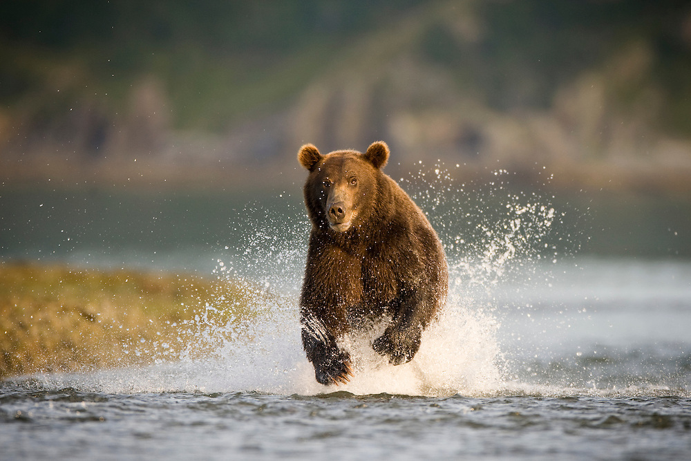USA, Alaska, Katmai National Park, Kukak Bay, Brown Bear (Ursus arctos) fishing for spawning salmon in small stream in late summer