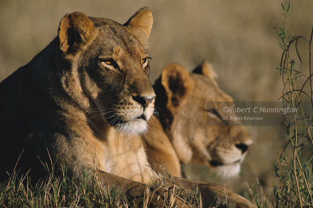 Lions watching the open grasslands of Savuti marsh for unsuspecting prey or hyenas. During the dry season, the grasses and a few pools of water remain which sometimes attract potential prey in their hundreds, and lions find stiff competition for food from large hyena clans