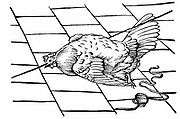 Experimentum Mirabile. From Athanasius Kircher 'Physiologia Kircheriana', 1680. Chicken hypnotised by beak being place on a line. Woodcut.