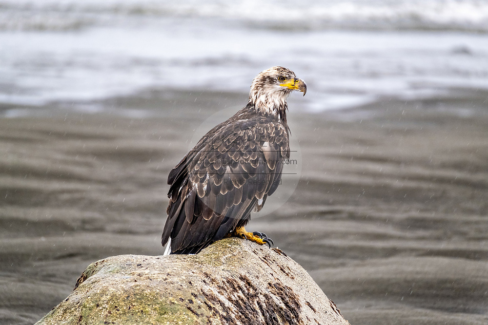 A wet Bald Eagle sits on a rock along the beach on a rainy day at Anchor Point, Alaska. Anchor Beach is the furthermost western point in the North American continent.