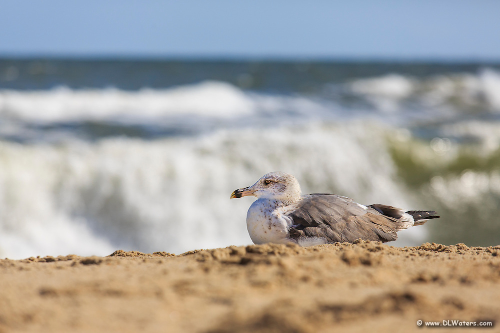 A sea gull resting on a Outer Banks Beach with the waves crashing in the background.