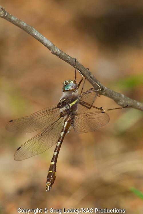 Stream Cruiser.Didymops transversa.male.Bouton Lake,.Angelina National Forest,.Jasper Co., Texas.8 Aprl 2010