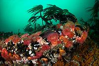 Underwater scenery, filter feeders, Saltstraumen, Bodö, Norway