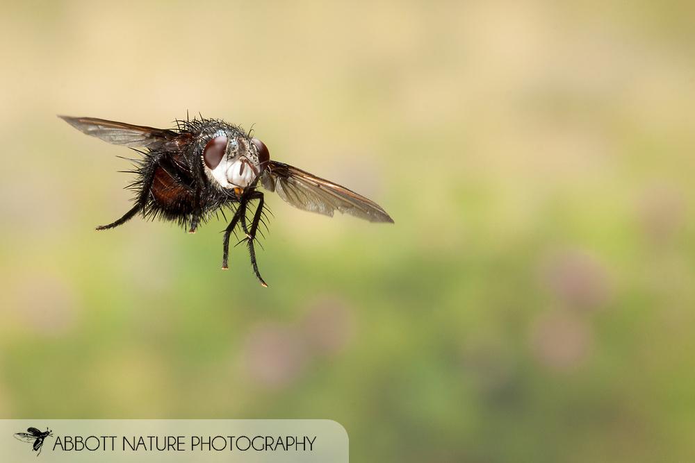Tachinid or Parasitic Fly (Epalpus signifer) - flying<br /> TEXAS: Travis Co.<br /> Brackenridge Field Laboratory; Austin<br /> 13.Sep.2011  N30.282556 W97.77900<br /> J.C. Abbott
