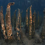 A submerged forest of pneumatophores that supports a vibrant community of mangrove apple (Sonneratia alba) trees in Long Lake, which is a tidal exchange area that connects a saltwater lake inside Ngeruktabel Island with the ocean. The conical pneumatophores pictured here comprise an extended root system that is essential for gas exchange in an anoxic environment. Sonneratia alba communities prefer seaward fringes with high salinity and soft sandy or muddy bottoms.
