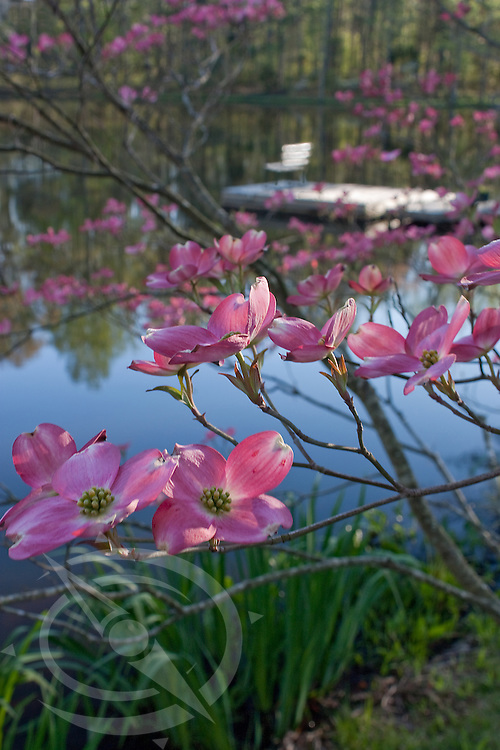 Blooming Dogwoods by a small pond near Midland, NC.