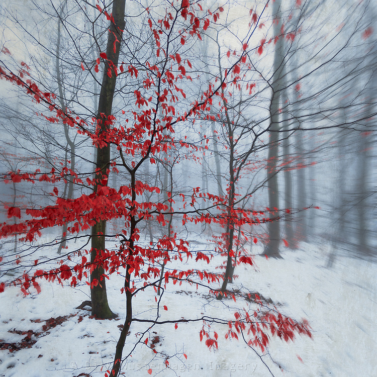 Small beech tree with red leaves in a snow covered forest - manipulated photograph<br />
