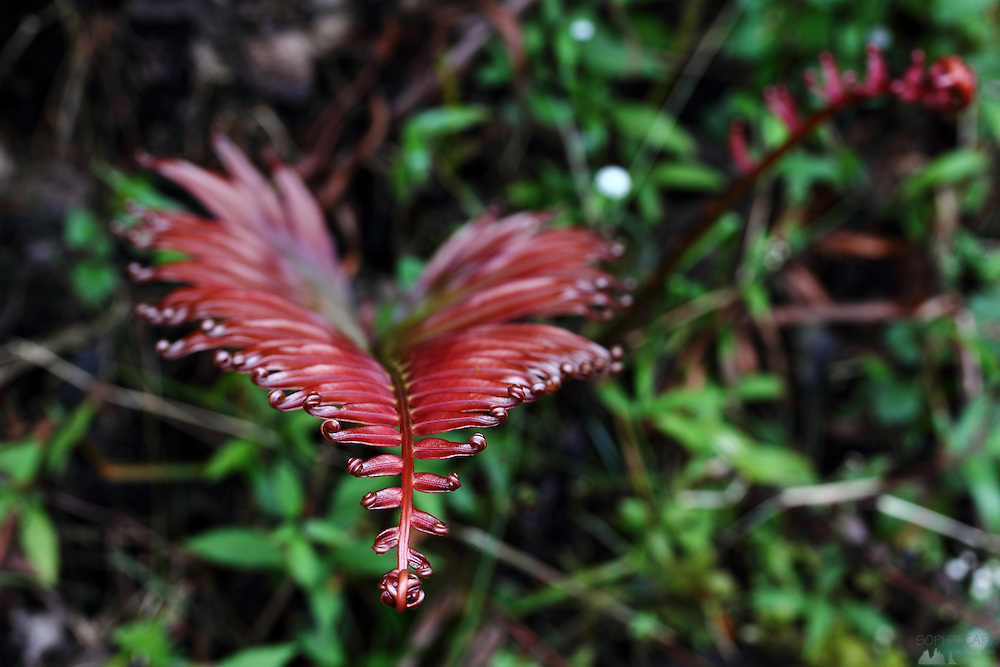 Red, waxy ferns curl at the tops after a rainstorm in Sri Lanka's Knuckles Range, near Kandy.
