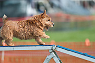 This little dog is almost strutting across the dog walk during an agility event at an AKC event.