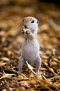 Round-tailed Groundsquirrel, Spermophilus tereticaudus