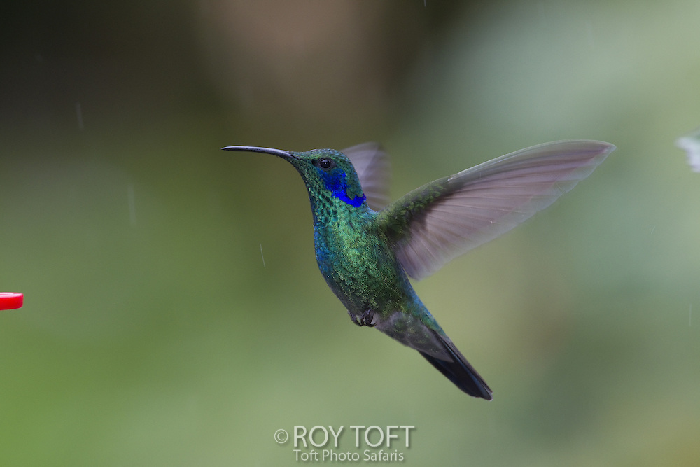 Green Violetear (Colibri thalassinus) Hummingbird in flight, San Gerardo de Dota, Costa Rica