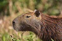 Portrait of a capybara, Hydrochoerus hydrochaeris, on the Cuiaba River.