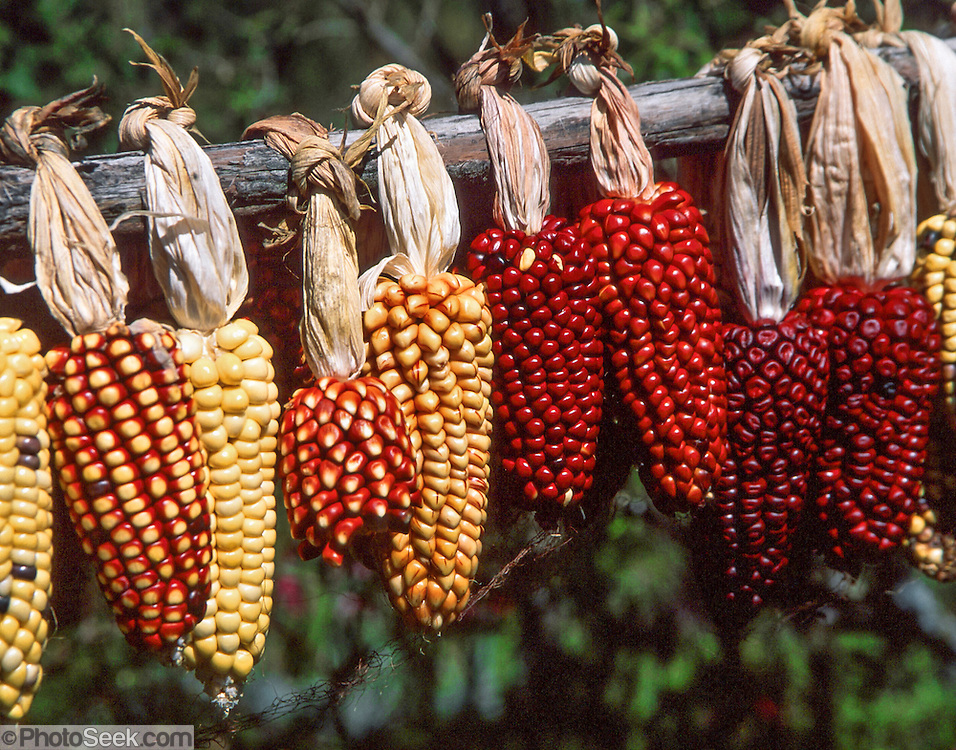 "Corn, or maize, is native to the Americas. Peru grows Andean cobs with especially large kernels. South America. Corn was originally the English term for any cereal crop. In North America, its meaning has been restricted since the 1800s to maize, as it was shortened from ""Indian corn"". The term Indian corn now refers specifically to multi-colored ""field corn"" (flint corn) cultivars."