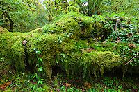 A moss covered log in the Hoh rain forest in Olympic National Park, Washington State